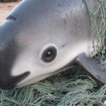 Pochoena Sinus (Vaquita) in rischio estremo di estinzione.
