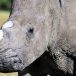 Rinoceronte bianco femmina, con cuccioli, ucciso per 1 solo cm di corno.