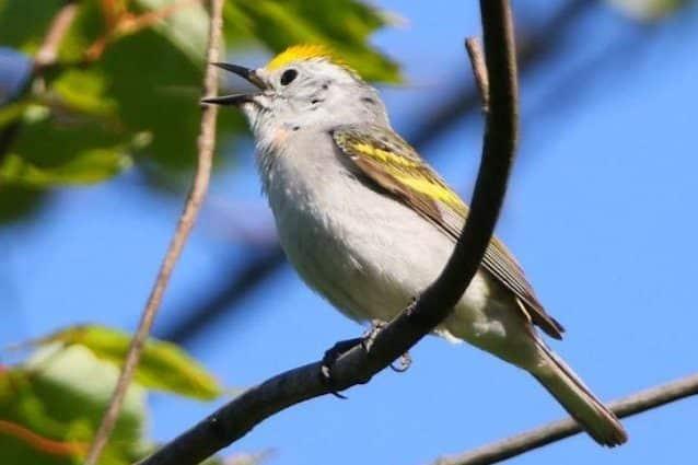 Triplice ibrido di uccello trovato in Pennsylvania