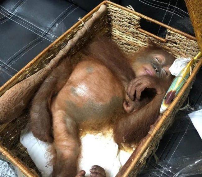 Trovato con un orango drogato in valigia, arrestato un turista russo