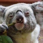 Il koala australiano è divetato funzionalmente estinto