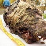 Testa di lupo vecchia di 40 mila anni ritrovata in Siberia