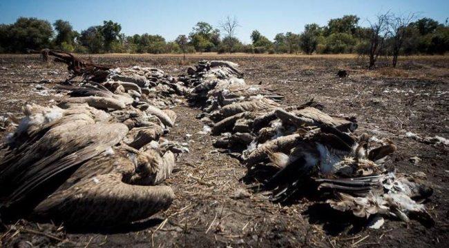 Strage di avvoltoi a rischio estinzione in Botswana
