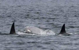Avvistato negli USA rarissimo cucciolo di orca bianco