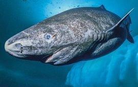 Uno squalo di 400 anni di età trovato in Groenlandia