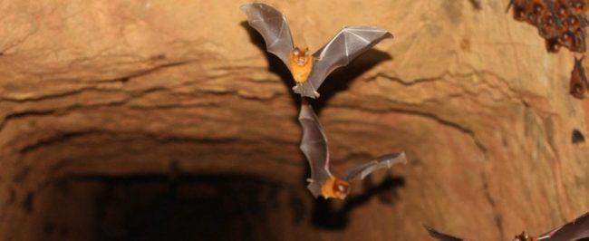 Scoperta nuova specie di pipistrello, legata alla specie colpevole di COVID-19