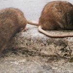 Un altro virus prende piede, l'epatite dei ratti che colpisce l'uomo