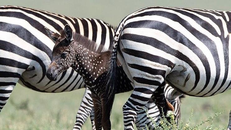 zebra a pois